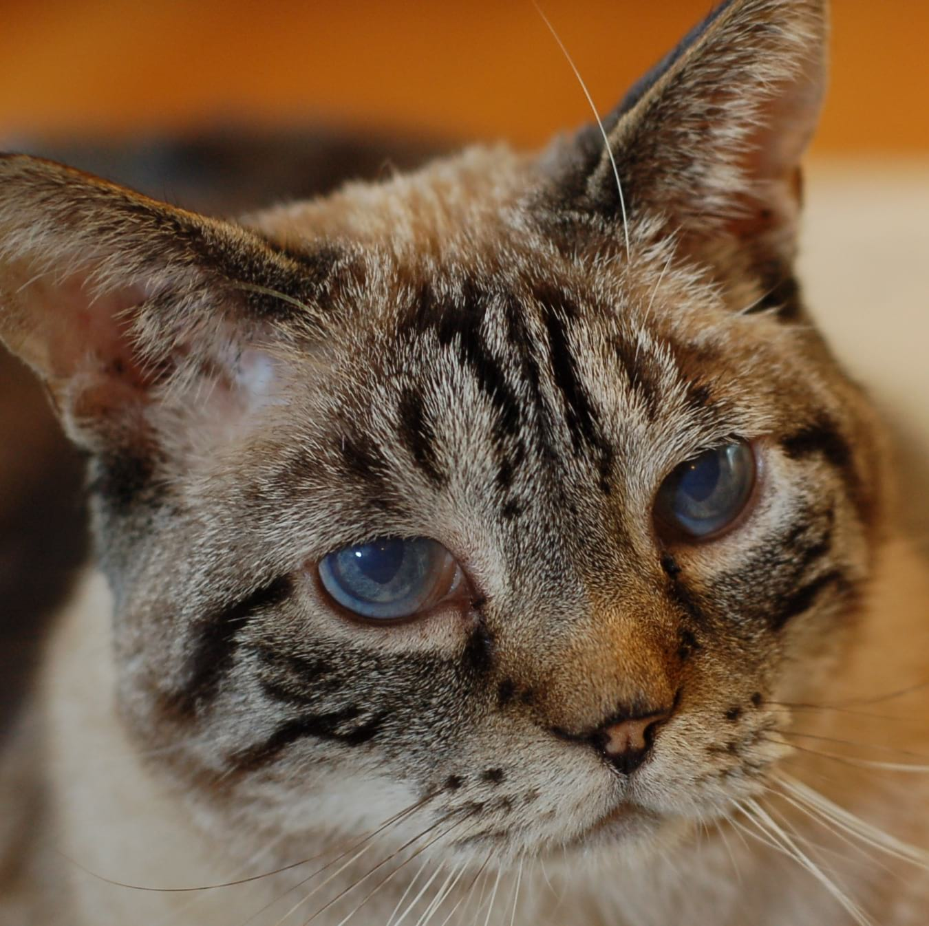 closeup of a light brown and black cat's face with blue-green eyes